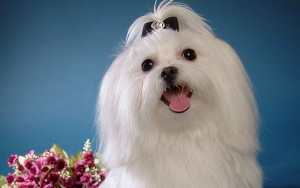 white-maltese-dog_72661-1920x1200