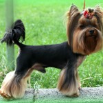 yorkshire-terrier-dog-breed
