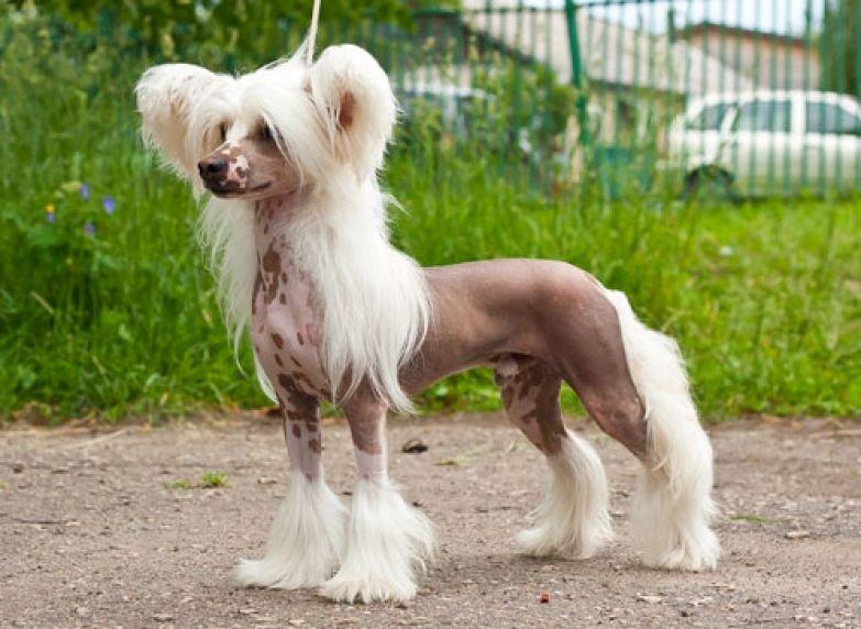 Китайская хохлатая собака фото цена описание породы